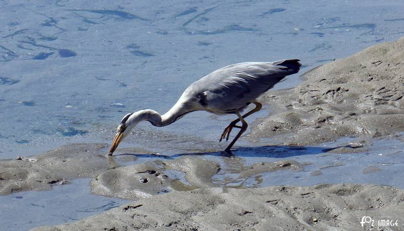 31st July 2015 - Heron © Ian Foster / fozimage